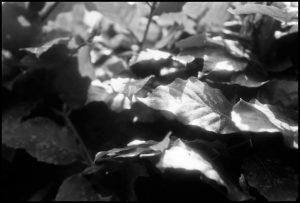 leaf, blad